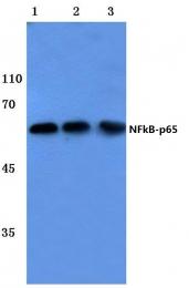 AP06250PU-N - RELA / NF-kB p65