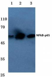 AP06251PU-N - RELA / NF-kB p65