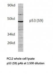 AP06266PU-N - TP53 / p53