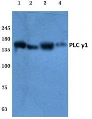 AP06287PU-N - PLCG1