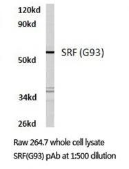 AP06324PU-N - Serum response factor (SRF)