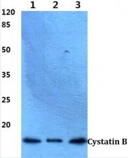 AP06334PU-N - Cystatin-B