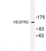 AP06360PU-N - CD309 / VEGFR-2 / Flk-1