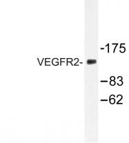 AP06361PU-N - CD309 / VEGFR-2 / Flk-1