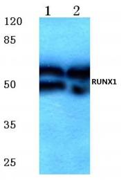 AP06369PU-N - RUNX1