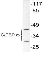 AP06373PU-N - CEBPA