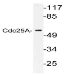 AP06379PU-N - CDC25A