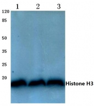 AP06394PU-N - Histone H3
