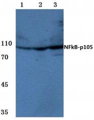 AP06402PU-N - NF-kB p105 / p50