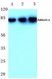 AP06423PU-N - Alpha-Adducin / ADD1