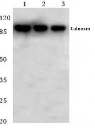 AP06425PU-N - Calnexin