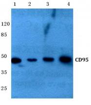 AP06448PU-N - CD95 / FAS