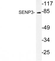 AP06458PU-N - SENP3