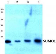 AP06463PU-N - SUMO1