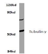 AP06470PU-N - TUBG1 / Tubulin gamma 1
