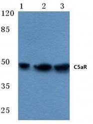 AP06508PU-N - CD88 / C5R1