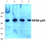 AP06546PU-N - RELA / NF-kB p65