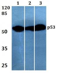 AP06550PU-N - TP53 / p53