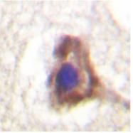 AP06560PU-N - CD31 / PECAM1