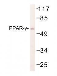 AP06573PU-N - PPAR-gamma