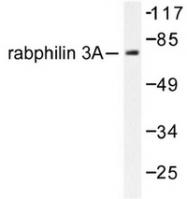 AP06576PU-N - Rabphilin-3A / RPH3A