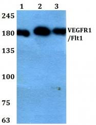 AP06592PU-N - VEGFR-1 / Flt-1
