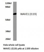 AP06594PU-N - WASF1 / WAVE1