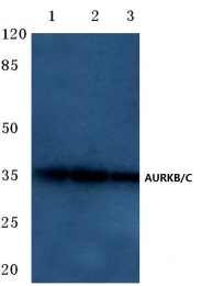 AP06627PU-N - Aurora kinase B/C
