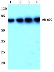 AP06679PU-N - Alpha-2C adrenergic receptor / ADRA2C