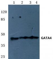 AP06693PU-N - GATA4