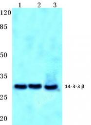 AP06765PU-N - 14-3-3 protein beta/alpha