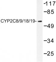 AP06776PU-N - CYP2C8