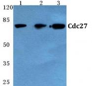 AP06780PU-N - CDC27