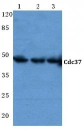 AP06781PU-N - CDC37