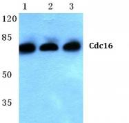 AP06782PU-N - CDC16 / APC6