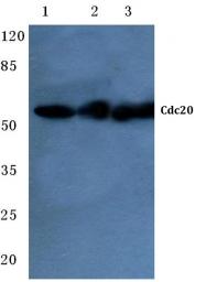 AP06783PU-N - CDC20