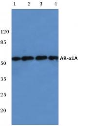 AP06787PU-N - Alpha-1A adrenergic receptor / ADRA1A