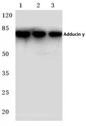 AP06788PU-N - Gamma-adducin (ADD3)