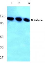 AP06797PU-N - Cadherin-2