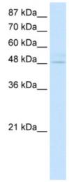 AP07186PU-N - KLF4