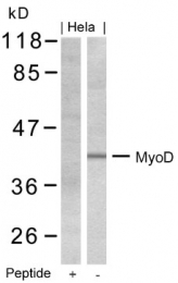 AP07427PU-N - MYOD1