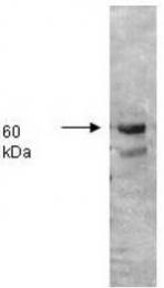 AP07542PU-N - Alkaline phosphatase / ALPI / IAP