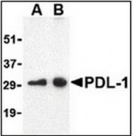AP07695PU-N - CD274 / PDL1