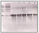 AP07808SU-N - Angiopoietin-1