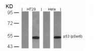 AP08001PU-S - TP53 / p53