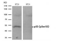 AP08003PU-N - TP53 / p53