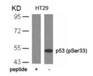AP08003PU-S - TP53 / p53