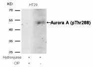AP08036PU-S - Aurora kinase A