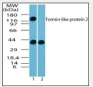 AP08299PU-N - Formin-like protein 2