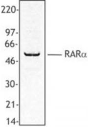 AP08347PU-N - RAR-alpha / RARA